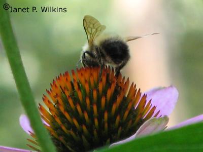 bumblebeeblog2.jpg
