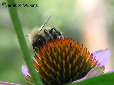 bumblebeebloga.jpg