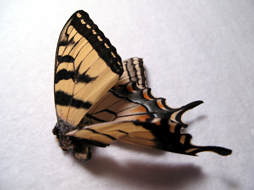 tigerswallowtail1.jpg