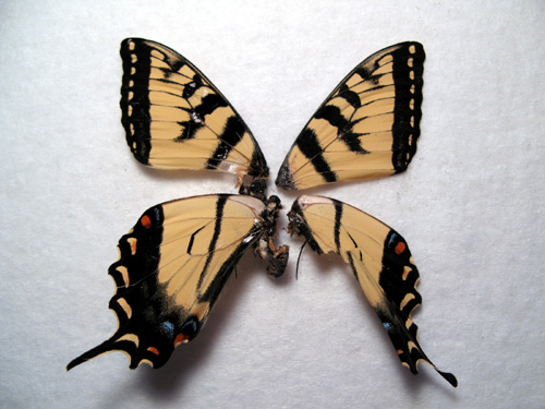 tigerswallowtail2.jpg
