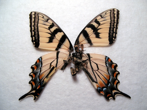 tigerswallowtail3.jpg