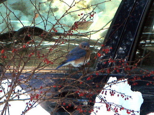 Photo taken January 26, 2009! My apologies for the poor background, I was just so excited to see an Eastern Bluebird in winter!