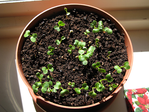 I've already begun thinning the seedlings, but, I must admit that this is the hardest step for me. It just breaks my heart to do it even though I know that if I don't, there won't be room for the root (radish) bulb to swell.